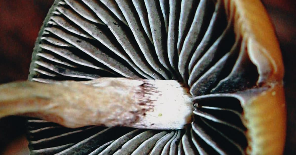 DoubleBlind: A photograph of the underneath of a psychedelic mushroom. In this article, Double Blind explores everything you should know about the campaign to decriminalize naturally occurring psychedelics