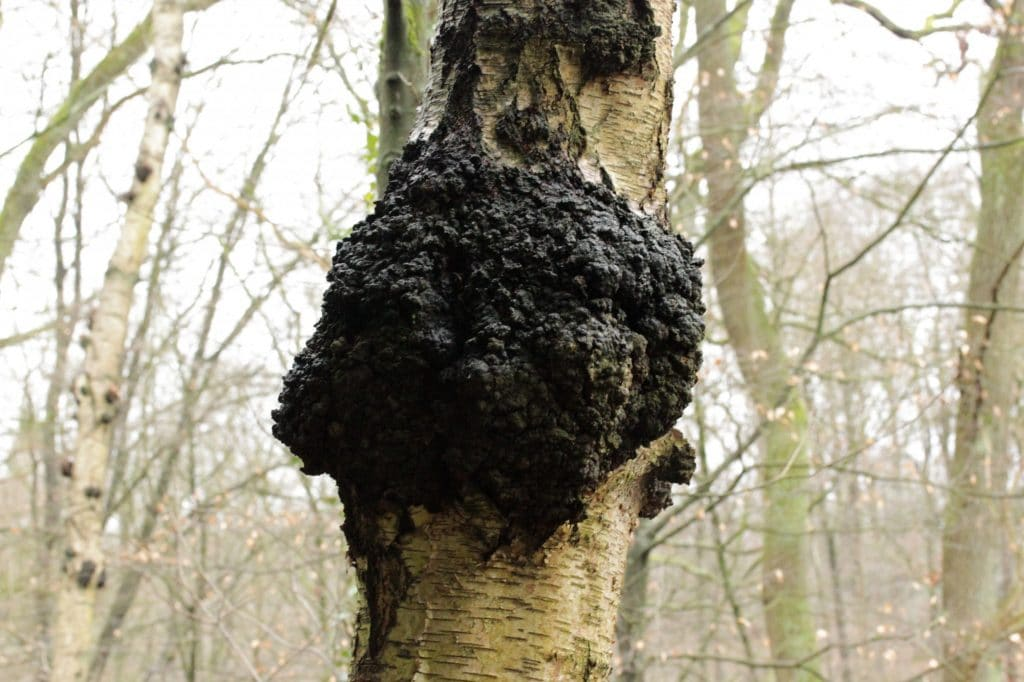 DoubleBlind:Photograph of a medicinal mushroom that resembles burnt charcoal.