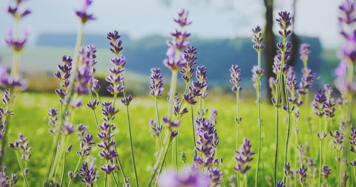 DoubleBlind: Lavender in a field. In this article, DoubleBlind explores essential oils made by Colibri Healing.