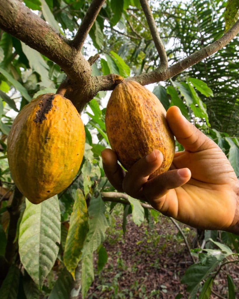 DoubleBlind: Image of hand pulling cacao plant from tree. In this article, DoubleBlind explores the history of sacred cacao and its place in Western culture.