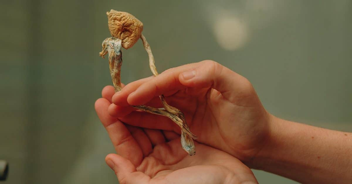 DoubleBlind: Hand holding dried mushrooms. In this article, DoubleBlind explores how to dry psychedelic shrooms.