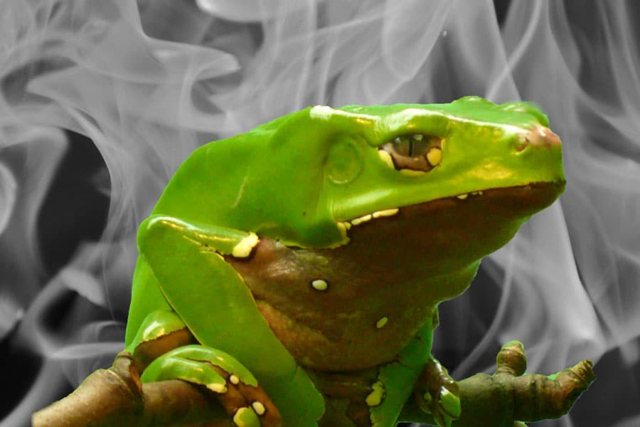 DoubleBlind: Giant monkey frog (Phyllomedusa bicolor) on black and white flame background. In this article, DoubleBlind explores kambo treatment, how it works, and whether or not it is safe.