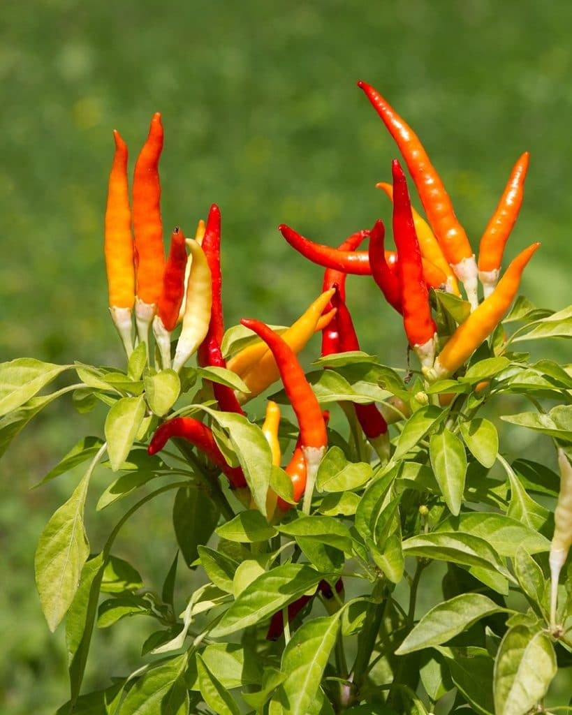 DoubleBlind: Image of Cayenne. In this article, DoubleBlind explores herbs that can be helpful during a psychedelic trip.