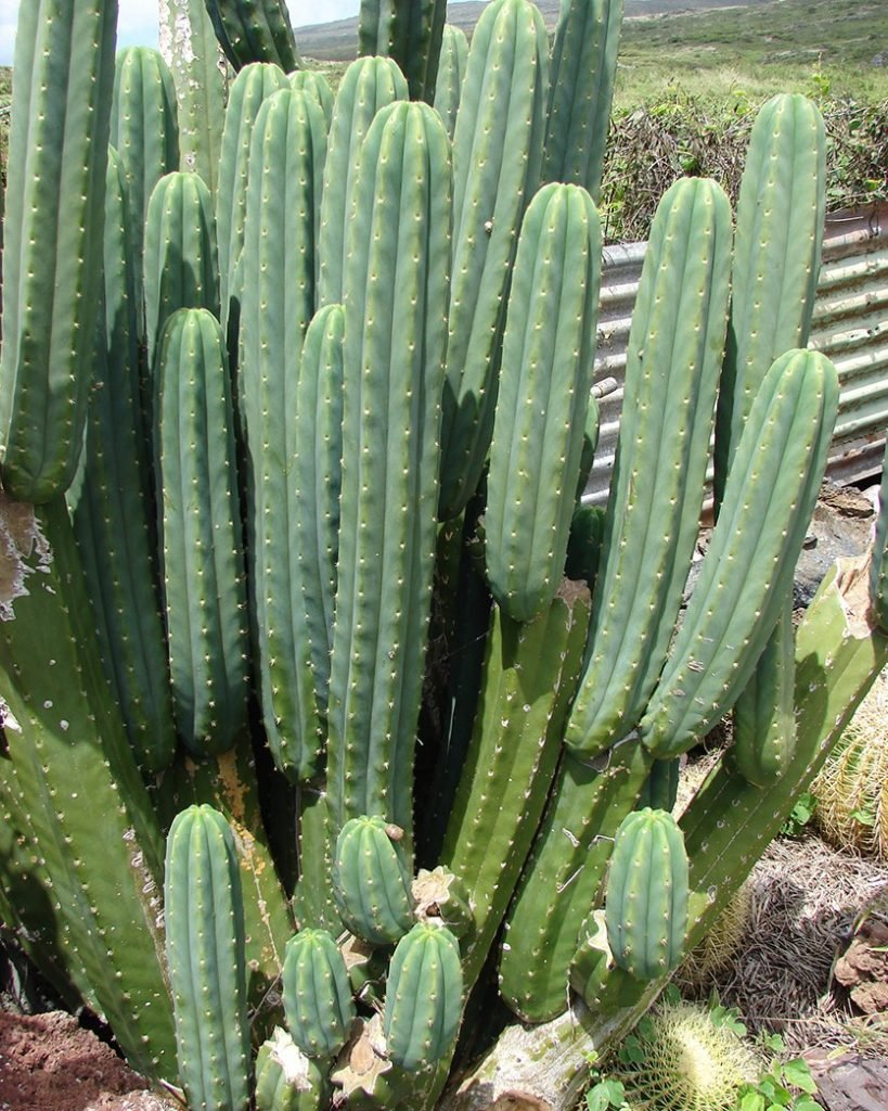 DoubleBlind: image of San Pedro cactus. In this article, DoubleBlind explores what mescaline is.