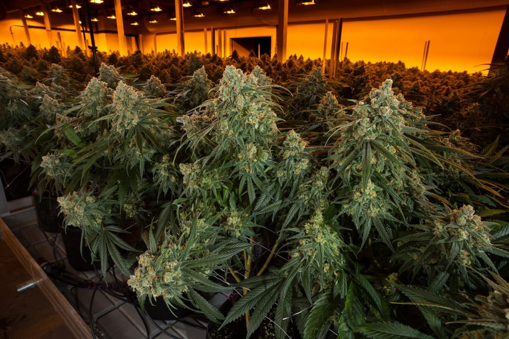 DoubleBlind: Image of cannabis farm.