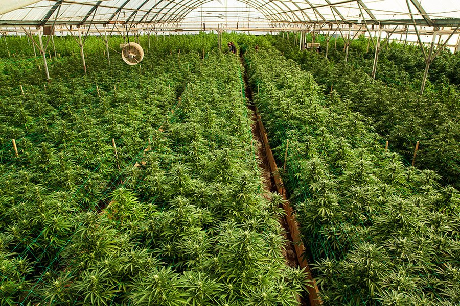 DoubleBlind: Image of cannabis farm. In this article, DoubleBlind explores how tripping can help us reimagine capitalism ahead of psychedelic commercialization.