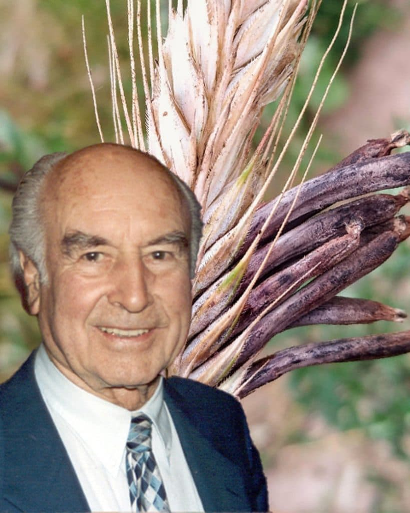 Albert Hoffman and ergot fungus