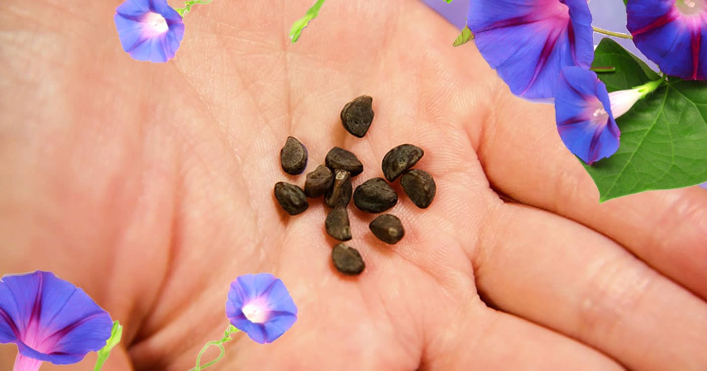 Handing holding morning glory seeds with Morning Glory flowers wrapping around.