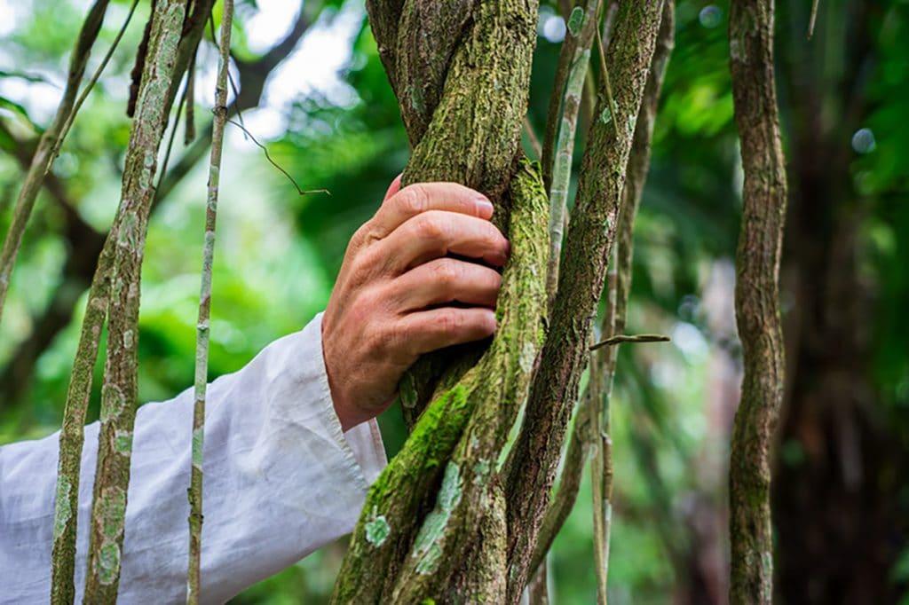 Hand holding onto the Banisteriopsis caapi (ayahuasca) vine
