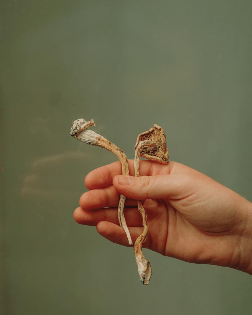 Hand holding two dried psilocybin mushrooms